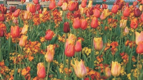 Design Themes - Rivers of Color, tulips with annuals
