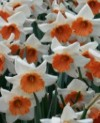 Chromacolor Large and Small Cupped Narcissus