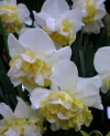 Westward Double Narcissus
